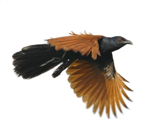 coucal6