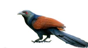 coucal8